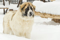 Watchful romanian shepherd Royalty Free Stock Photo