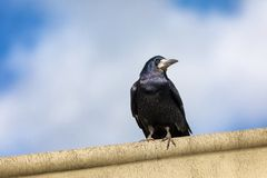 Watchful rook against summer sky Stock Photography