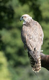 Watchful Saker falcon (Falco cherrug) Stock Photo