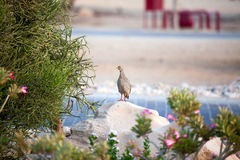 A watchful sandgrouse on Sir Bani Yas island, UAE. Royalty Free Stock Images