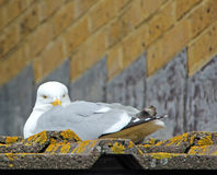 Watchful seagull Stock Photos