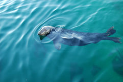 Watchful seal Royalty Free Stock Photo