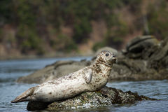 Watchful seal Royalty Free Stock Images