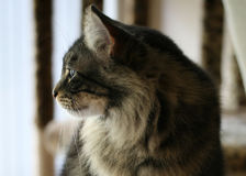 Watchful yet serene (and elegant with it, natch). Cat profile, watchful, observant, yet peaceful and serene Stock Photography