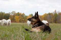 Watchful shepherd Royalty Free Stock Photos