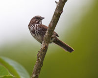 Watchful Song Sparrow. A watchful Song Sparrow perched on a branch wih head turned Stock Image