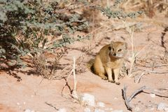 Watchful Southern African weasel. Attentive Southern African weasel sitting on the ground Stock Image