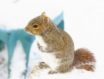 Watchful Squirrel Stock Images
