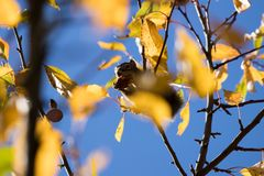 Watchful squirrel fattening up for winter in a yellowing crab apple tree royalty free stock images