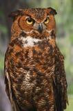 Watchful stor Horned Owl Arkivfoto