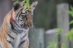 Watchful Tiger Cub Royalty Free Stock Photo