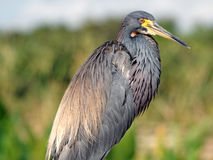 Watchful Tricolored Heron Stock Image