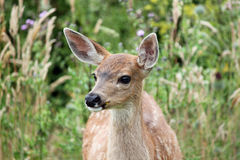 Free Watchful Whidbey Island Fawn Royalty Free Stock Photos - 57007128