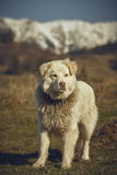 Watchful white furry sheepdog Royalty Free Stock Photos