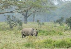Watchful White Rhino at lake Nakuru. Kenya, Africa Royalty Free Stock Image