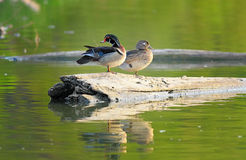 Watchful Woodducks. A Male and Female woodduck sitting on a log in a lake looking in different directions Royalty Free Stock Images