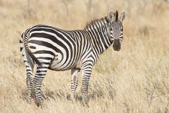 Watchful Zebra. A roaming zebra stays alert Stock Images