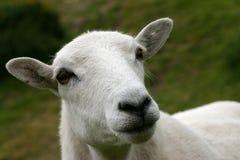 watchfull овцематки Стоковые Изображения