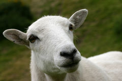Watchfull ewe Stock Images