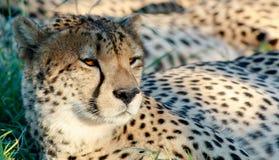 Watchfull-Gepard Lizenzfreies Stockfoto