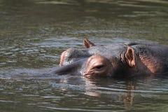 Watchfull hipopotam Fotografia Royalty Free