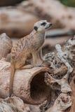 Watchfull se reposant de suricatta de Suricata de Meerkat photo libre de droits