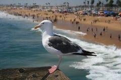 Watchin de mouette au-dessus de plage de Santa Monica Images libres de droits