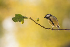 Watching acorns Royalty Free Stock Photography