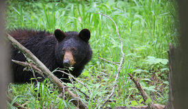Watching bear between trees Royalty Free Stock Photos