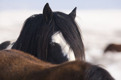 Stallion watching from Behind another horse Royalty Free Stock Photos