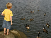 Watching The Birds. A little boy watching some ducks and geese Stock Photos