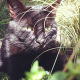 Watching Black Cat. A sunbathing Black Cat in London looks out from the undergrowth Royalty Free Stock Photos