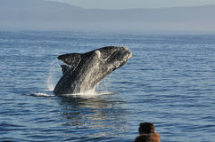Watching a breach 3. A Southern right whale breaching in Walker Bay,Hermanus,South Africa Royalty Free Stock Photography