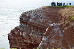 Watching Breeding Birds in the Cliffs of Helgoland Royalty Free Stock Photos