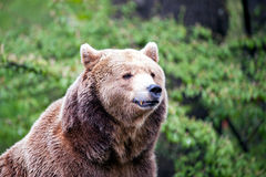 Watching brown bear Stock Images