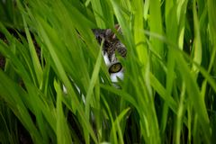 WATCHING CAT EYE. FELINE CREEPING THROUGH THE GRASS Royalty Free Stock Photography