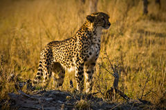 Watching Cheetah. Cheetah looking for prey in Moremi National Park, Botswana Royalty Free Stock Photos