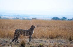 Watching Cheetah Royalty Free Stock Photography