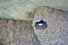 Always Watching. A Cliff Swallow guarding its nest at Yellowstone National Park, which could contain eggs. The nests were built on the side of an outdoor Royalty Free Stock Photography