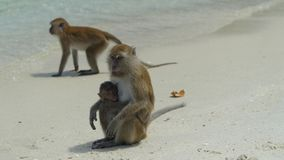 Watching macaques - the most common monkeys in Thailand, Koh Monkey island, National park Tarutao, Thailand stock photos