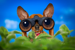 Watching dog with binoculars royalty free stock photography