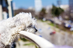 Watching dog from top of balcony. Royalty Free Stock Image