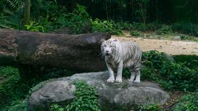 Dominant white tiger walking around his territory royalty free stock images