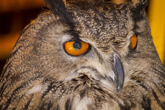 Watching eagle owl in a sample of birds of prey, medieval fair Royalty Free Stock Photo