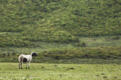 Watching Ewe. A mother sheep stands and looks in the distance for her lambs to arrive back from grazing in a meadow high in the mountains of Yunnan province in Stock Photo