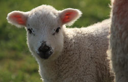Watching Ewe. Close up of a spring lamb backlit in evening light stock photography
