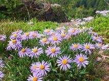 Watching the Flowers on the Mountais of Meran Stock Images