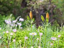 Watching the Flowers on the Mountais of Meran Royalty Free Stock Photos
