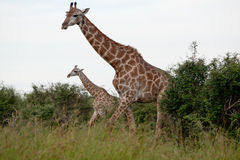Watching Giraffe Stock Photo