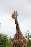 Watching Giraffe Royalty Free Stock Photography